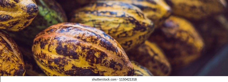 Cacao fruit, raw cacao beans BANNER, long format