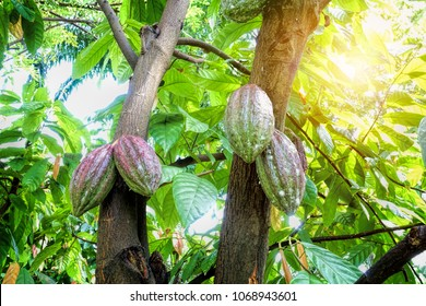 Cacao fruits on cocoa tree. The seeds from the fruits are called cocoa beans, which are used in chocolate, confectionery and cocoa powder.