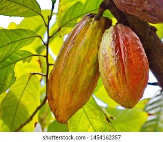 Cacao fruits and Plant - Theobroma Cacao