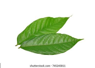 cacao leaf