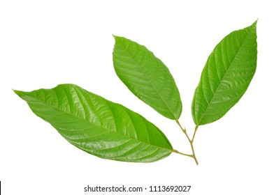 cacao leaf isolated on white