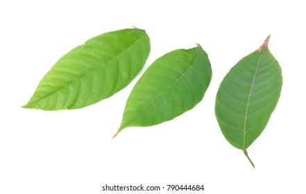 cacao leaf isolated on white background.
