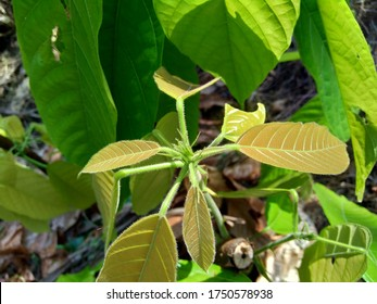 Cacao leaves (Theobroma cacao, cocoa, coklat). Its seeds, cocoa beans, are used to make chocolate liquor, cocoa solids, cocoa butter and chocolate. Cacao (Theobroma cacao) belongs to genus Theobroma.