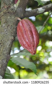 Cacao plant from Sri Lanka