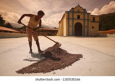cacao plantation worker let dry the cacaobeans in the sun in the town of chuao near choroni on the caribbean coast in Venezuela.   Venezuela, Chuao, November, 2005