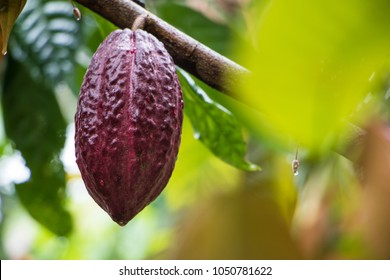 Cacao pod growing on a cacao tree