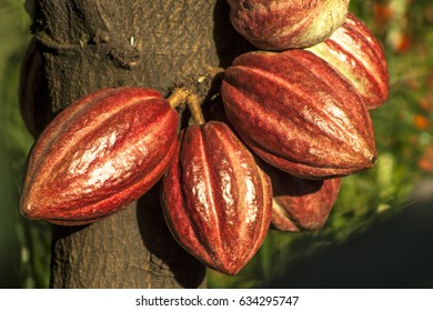 cacao pod on tree (theobroma cacao) - stage of ripening, in Brazil