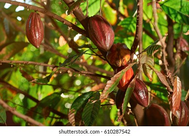 Cacao red pod plant tree. Group of chocolate fruit in natural farm