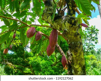 Cacao seeds hanging at a cacao tree in the jungle of Cuba on a summer day