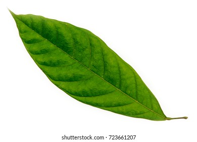 Cacao (Theobroma cacao) leaves of truth on a white background.