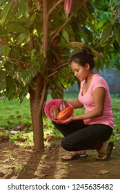 Cacao tree in farm with fruit pods. Woman picking up cocoa pods