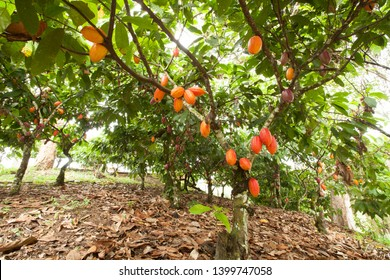 Cacao tree with fruits planted on farm, Itacaré, Bahia, Brazil