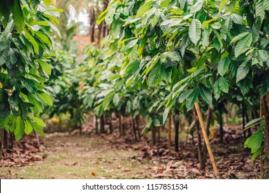 Cacao Tree. Organic cocoa fruit pods in nature. Theobroma cacao.