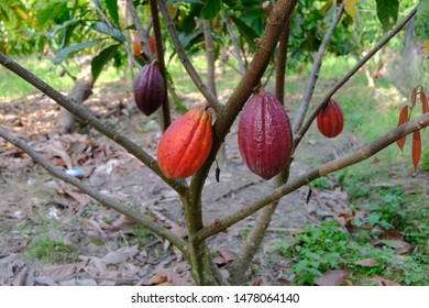 Cacao Tree (Theobroma cacao), also called the cacao tree and the cocoa tree, is a small 4-8 m (13-26 ft) evergreen tree in the family Malvaceae, native to the deep tropical regions of the americas
