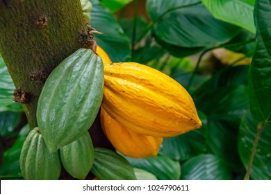 Cacao tree ( Theobroma cacao ) with fruits. Yellow and green cacao pods grow on the tree