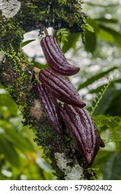 Cacao Tree (Theobroma cacao) Nicaragua