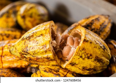 Cacao Tree (Theobroma cacao). Organic cocoa fruit pods in nature.