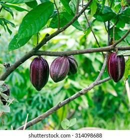 Cacao-beans (chocolate tree), Bali, Indonesia