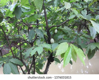 Cacaotree (Theobroma cacao) with green fruits