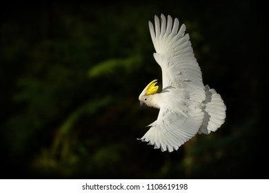 Cacatua galerita - Sulphur-crested Cockatoo flying in Australia. Big white and yellow cockatoo with green background.