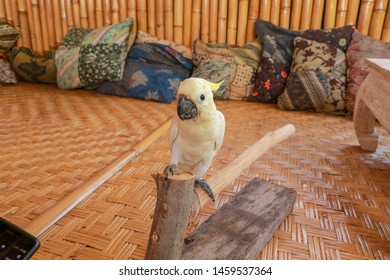 Cacatua galerita - Sulphur-crested Cockatoo sitting on the branch in Bali. Big white and yellow cockatoo with bamboo and pillows background.