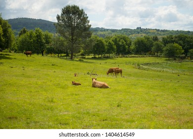 Cachena breed cow on a green meadow. This breed of cow is characterized by having very long horns