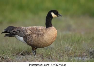 A Cackling Goose walks through a grassy marsh in south central Alaska.