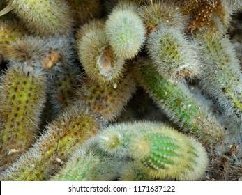 Cactaceae, Cacti or Succulents