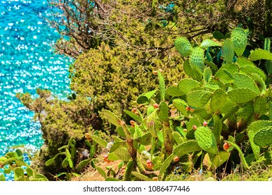 Cacti plant and Coast at the Mediterrenian sea in Villasimius, Cagliari, South Sardinia in Italy