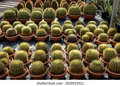 Cacti plantation in nursery, Echinocactus Grusonii