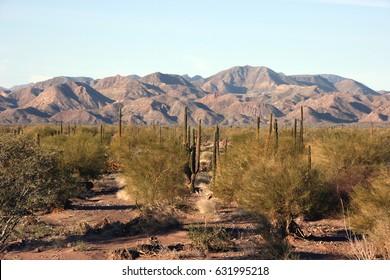 Cacti in the remote Sonoran Desert, Baja California Sur, Mexico