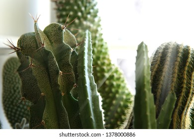 Cactus Background with sunlight and fleck. Close up.