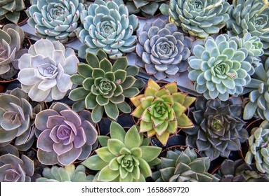 Cactus background - various species of Echeveria succulents such as Agavoides, Elegans, Derenbergii, Imbricata in pots at the garden shop, top view.