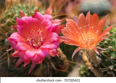 Cactus is a beautiful plant with many colorful flowers. It is a native plant of America and grows in desert and drought area with hot and sunny.