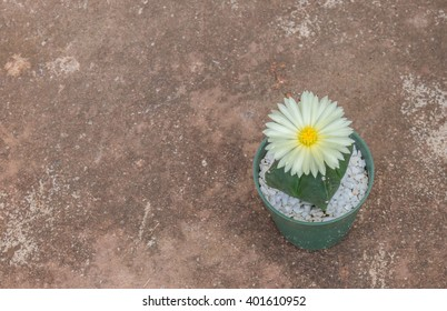 Cactus with beautiful white flowers in a green pot on the old cement floor