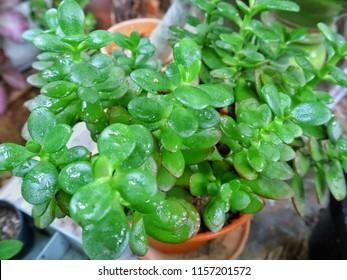 Cactus bladeren type, Jade plant, crassula.houseplant Crassula ovata jade plant money tree.