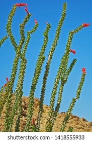 Cactus (Blooming Ocotillo) - A stand of blooming ocotillo cactus against a dark blue sky
