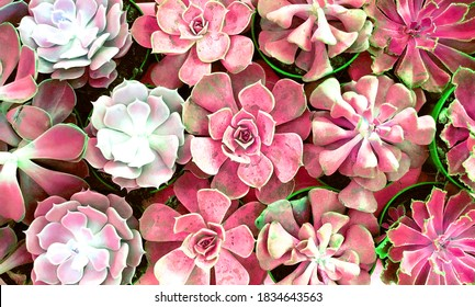 cactus blossom design for Romantic wedding background with camellias, wall tiles, interior, wall paper, Can be used for any kind of design