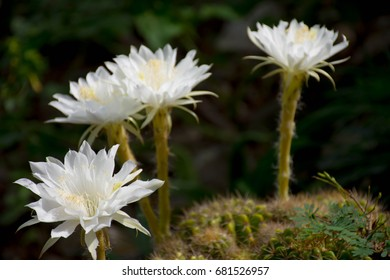 Spiky white flower images stock photos vectors shutterstock cactus blossom flowers white color beautiful and morning orange light look refreshing mightylinksfo