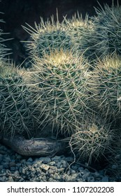 Cactus. Close up of green succulent or cactus plant with sharp spikes outside