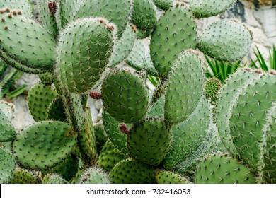 cactus close up,prickly pear cactus , cactus spines.