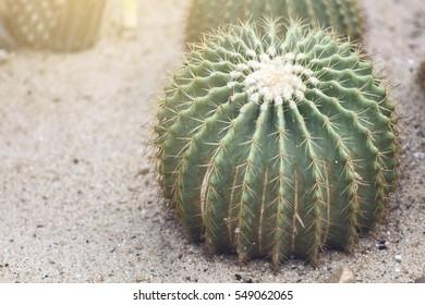 cactus closeup shot. Vintage style