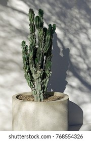 Cactus in a concrete pot in the half-shade of a tree