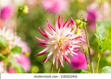 Cactus Dahlia Flower in the Morning Light.