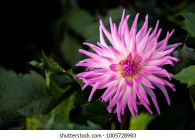 Cactus dahlias named Violetta. Double blooms, ray florets pointed, with majority revolute (rolled) over more than fifty percent of their longitudinal axis, and straight or incurved.