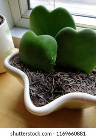 Cactus was decoration on the corner of leaving room. The  heart cactus is a good gift for your lovely friend.