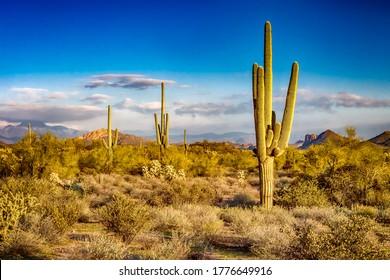 Cactus in desert. Cacti in the desert