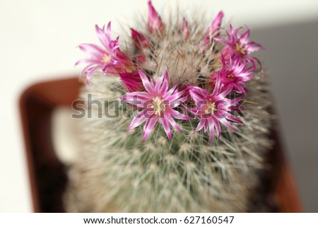 Cactus During Spring Flowering Pink Flowers Stock Photo Edit Now