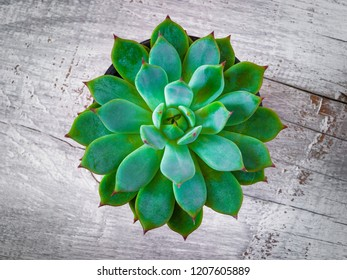 Cactus Echeveria filmed closeup on wooden board