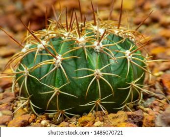 cactus (Echinocactus grusonii) cluster. well known species of cactus